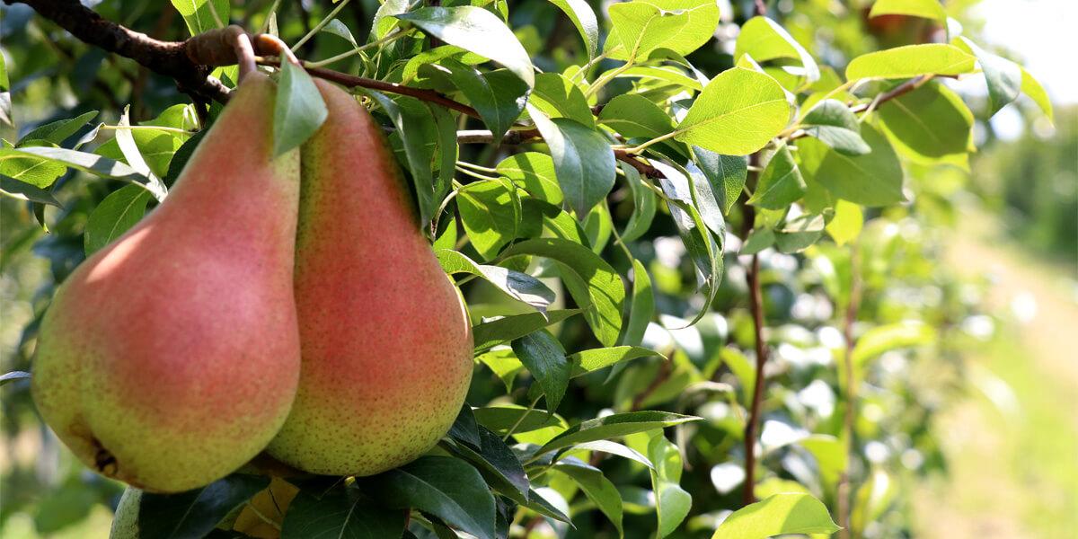 Αχλάδια στο κλαδί