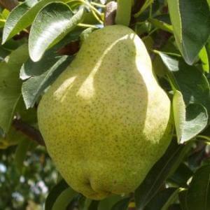 παραγωγή φρούτων αχλάδια