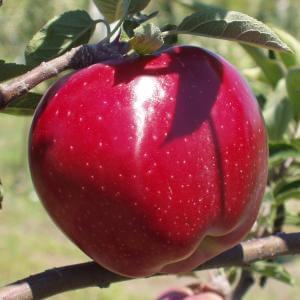 παραγωγή φρούτων μήλα