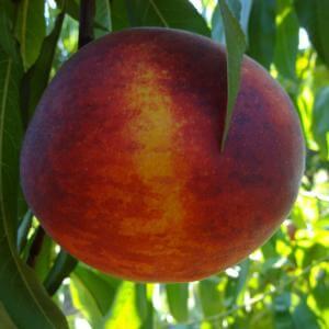 παραγωγή φρούτων ροδάκινα
